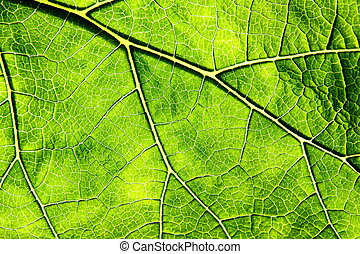 Leaf Veins  - Extract of a green leaf