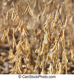 Soybean field. - Close-up of golden soybeans growing in...