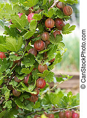 Gooseberries - Ripe red gooseberries bush close up shoot