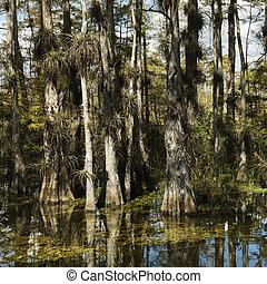 Wetland, Florida Everglades - Cypress trees in wetland of...