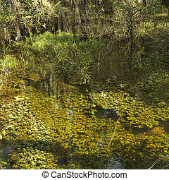 Wetland, Florida Everglades. - Aquatic plants in wetland of...