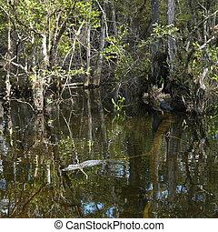 Alligator in Everglades.