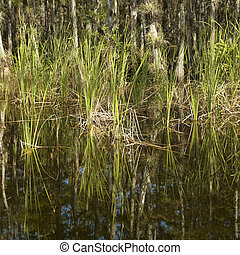 Florida Everglades wetland. - Aquatic plants in Everglades...