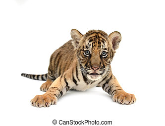 baby bengal tiger isolated on white background