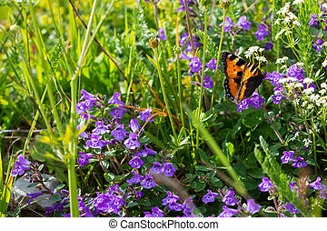 alpine flowers with admiral butterfly