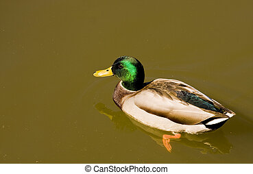 Mallard in Muddy Water - A male mallard duck swimming in a...