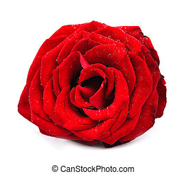 red rose isolated - red rose with water drops isolated on...