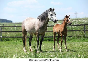 Welsh mountain pony mare with foal on pasture