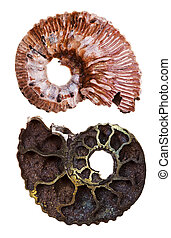 two sides of mineral fossil ammonite shell isolated on white...