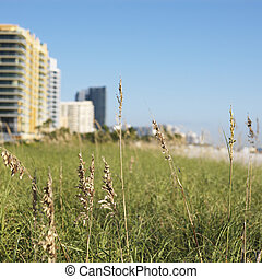 Miami beachfront. - Beach grass and beachfront buildings in...