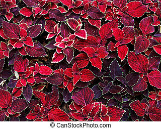 decorative coleus leaves - background from decorative coleus...