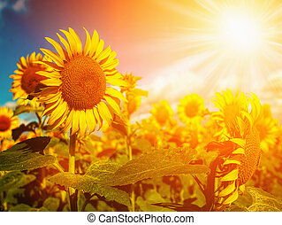 Happy Meadow. Sunflowers field under golden summer sun
