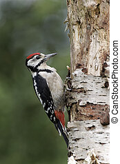 Great-spotted woodpecker, Dendrocopos major - Great-spotted...