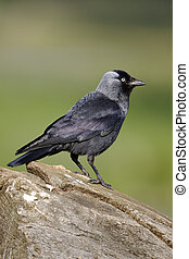 Jackdaw, Corvus monedula, single bird on branch,...