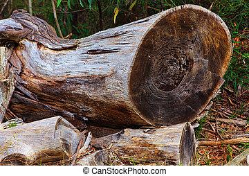 Felled Tree - Felled gum tree lying in bushland