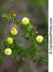 Wattle Seedling Acacia Decurrens - Close up on a small...