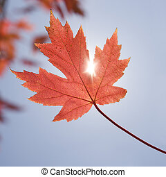 Red maple leaf. - Single red autumn maple leaf with sun...