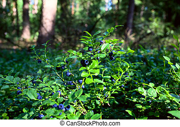blueberry shrubs in the forest - blueberry shrubs with blue...