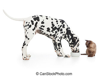 Dalmatian dog eating from bowl and kitten sitting close on...