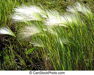 Feathergrass in windy weather back-lit