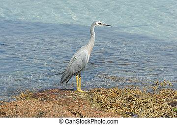 White-faced Heron, Australia - White-faced Heron, Freycinet...