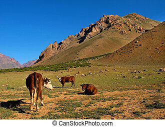 Beautiful mountain landscape in the Andes with cattle eating...