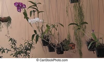 orchid flowers hanged in pots