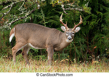 White-tailed deer buck - Large white-tailed deer buck in...