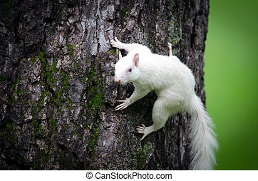 White squirrel - Rare white squirrel in a tree in the city...
