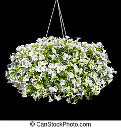 Petunia flowers - Bush of white petunias isolated on a black...