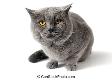 British shorthair cat isolated on white