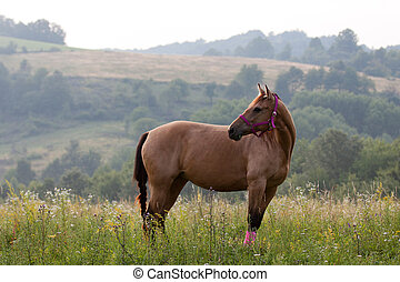 Quarter horse - Brown quarter horse standing on meadow with...