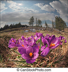 Crocuses in the mountains - In May, the snow melts and the...
