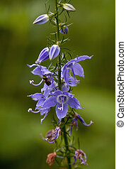 Bellflower - Tall Bellflower (Campanulastrum americanum)...