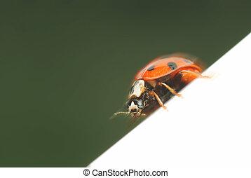 Ladybug in motion