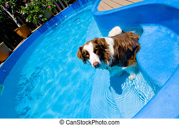 A dog in a swimming pool - Ad og cooling off fro the...