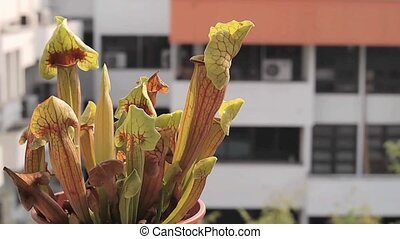 carnivorous pitcher plant in pot