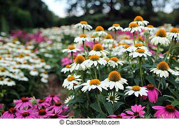 Coneflowers or Echinacea - Details of coneflower or...