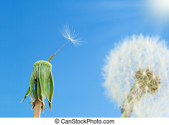 Dandelions with seeds on blue sky background