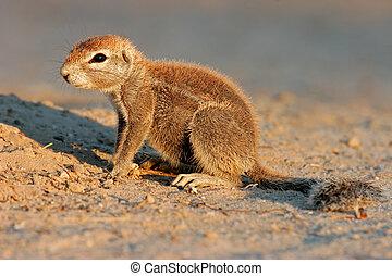Ground squirrel Xerus inaurus, Kalahari desert, South Africa...