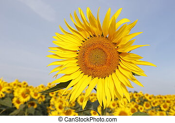 Sunflowers - Austria Grimming 14-07-2013 The sunflower with...