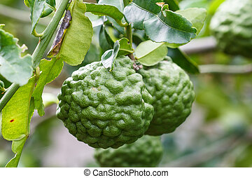 Bergamot - leech lime fruits hanging on its tree