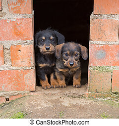 Small brown dachshund - Closeup of baby Dachshund puppies at...