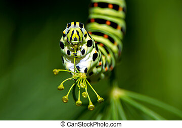 A closeup of the caterpillar of the Old World Swallowtail...