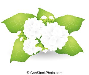 Jasmine isolated on white background