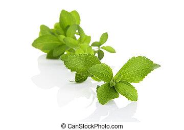 Sugar leaf. - Fresh sweetleaf stevia herb isolated on white...