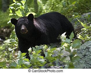 黑色, 熊