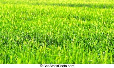 waves of green grass