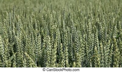Wheat blowing in the wind - Wheat in a field blowing in the...