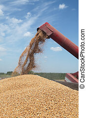 Agriculture, wheat harvest - Wheat harvest, grain auger of...